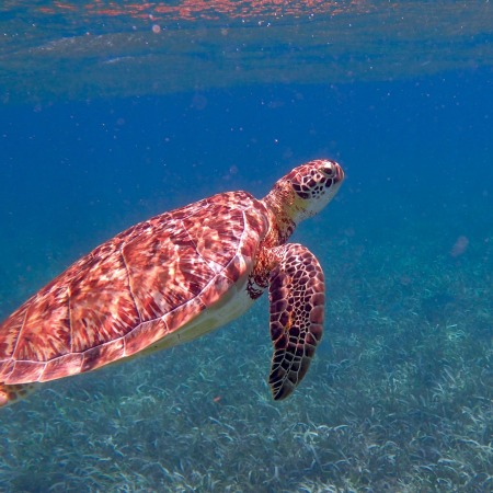Turtle in Belize